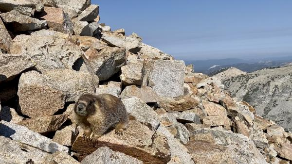 A visiting marmot