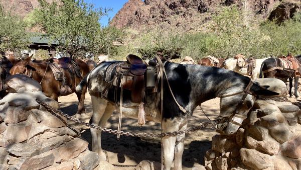 burros at the Phantom Ranch
