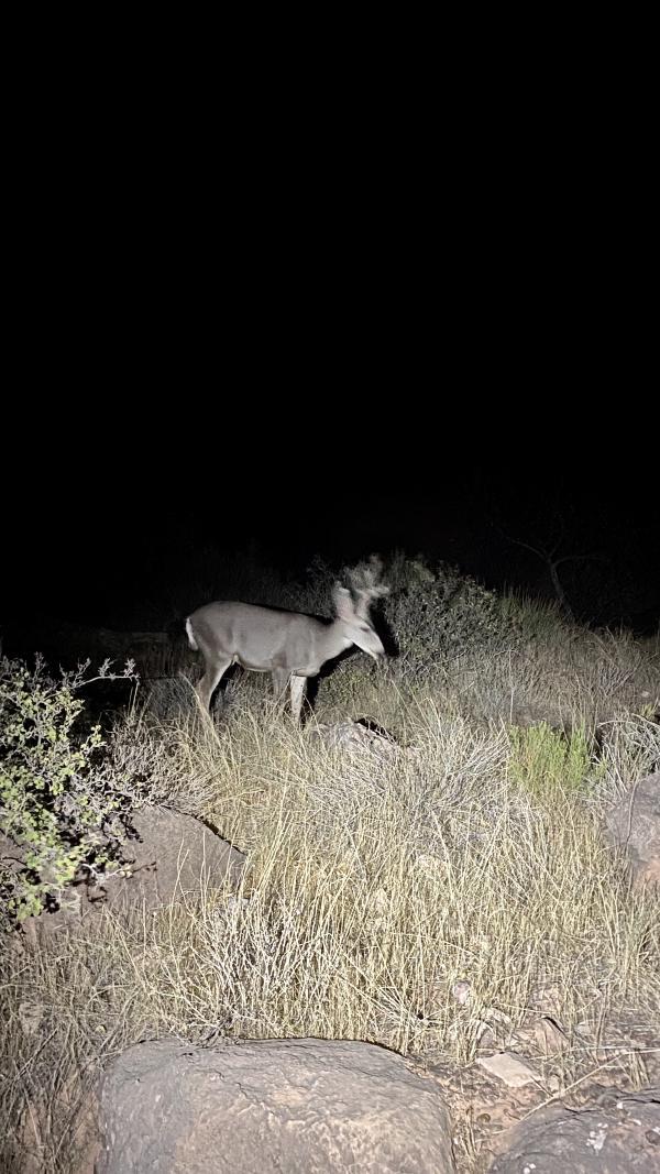 A deer illuminated by Chris's headlamp