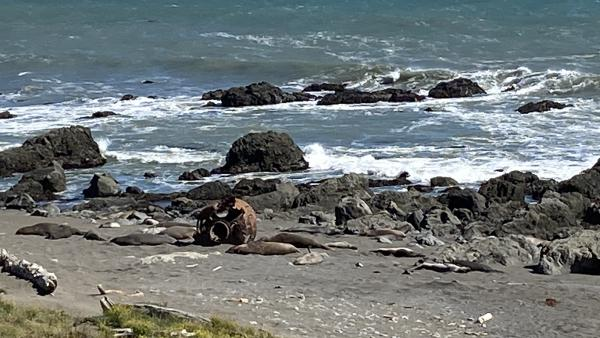 Elephant seals sleep on a beach next to a rusted piece of metal